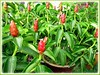 Costus woodsonii (Red Button Ginger, Scarlet Spiral Flag, Red Cane, Panamanian Candle Ginger, Indian Head Ginger, Dwarf French Kiss, Dwarf Cone Ginger)