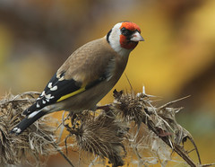 Goldfinch  (Carduelis carduelis) Other images below. (Sandra Standbridge.) Tags: bird birds niceshot ngc cardueliscarduelis sailthesevenseas avianexcellence natureselegantshots thewonderfulworldofbirds flickraward mygearandme sandrastandbridge