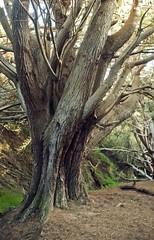 monterey cypress (jnatali) Tags: bigsur pfeifferbeach