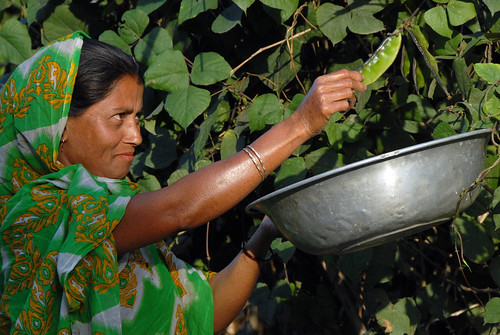 Harvesting vegetables from the home garden, Bangladesh. Photo by WorldFish, 2007