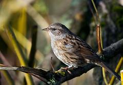 Dunnock (Prunella modularis) (42jph) Tags: uk england bird nature big nikon wildlife sigma dunnock northumberland waters d90 nbw nikond90 150500