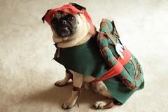 According to Pork, lady pugs dig the shell! (WeeLittlePiggy) Tags: dog halloween puppy costume turtle pug ninjaturtle