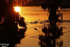 Great Blue Heron / Sunset - Lake Martin, Louisiana (Image Hunter 1) Tags: sunset sun reflection tree nature water birds silhouette moss louisiana lily feeding spanish bayou swamp spanishmoss cypress marsh backlit lilypad greatblueheron cypresstree natureconservancy lakemartin t2i birdslouisiana cypressislandpreserve canont2i