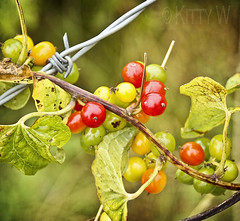 Wild Berries (Kitty W) Tags: wild texture leaves fence wire berries barbedwire wildplant whitehorsehill wildberries