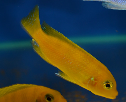 Metriaclima lombardoi Nkhomo Reef