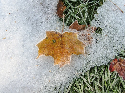Frosted leaf on snow