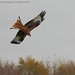 Red Kite @ Argaty3