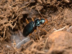 Ground-beetle, Leistus cf spinibarbis,  Artemis trail, Troodos, Cyprus   DSC_2497 (Cladoniophile) Tags: macro nature closeup wildlife predator carabidae carabid groundbeetle