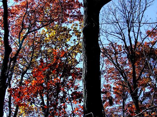 flaming oaks