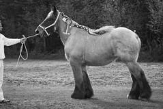 DSC_9882 (Ton van der Weerden) Tags: horses horse de cheval sint van der nederlands belges ton draft chevaux centrale noordbrabant belgisch trait oedenrode keuring trekpaard trekpaarden weerden centralekeuringsintoedenrode2011ariannevanleendershof