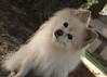DSC_0751 2 (zoo2292) Tags: bear dog puppy doggy pomeranian pompom