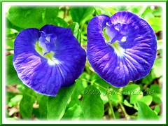 Deep blue flowers of Clitoria ternatea (Butterfly Pea, Blue Pea Vine, Asian Pigeonwings)