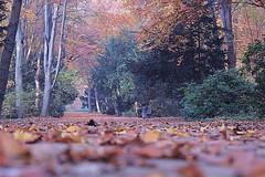 Foliage (Rakel Reds) Tags: park autumn trees parco berlin fall leaves foglie alberi germany leaf focus herfst foliage autunno processed arbre tiergarten germania defocused berlino sfocato brandemburg