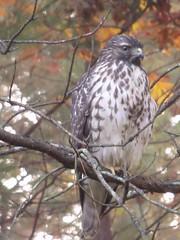 hawk by Teckelcar