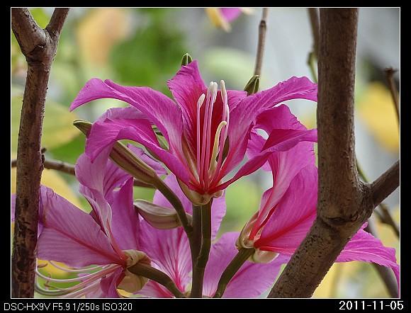 20111105F5豔紫荊