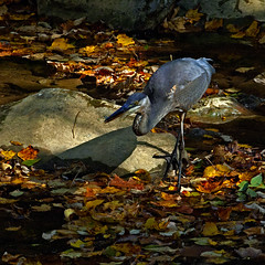 Great Blue Heron (louieliuva) Tags:
