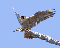 Peregrine Falcon (petefeats) Tags: nature birds australia brisbane queensland australianbirds peregrinefalcon falconiformes falcoperegrinus falconidae