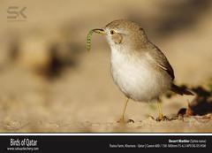 Desert Warbler (Sylvia nana) (suhaaz Kechery) Tags: dk qatar canon60d sylvianana desertwarbler sigma150500 dohakoottam birdsofqatar trainafarm kharrara suhaazkecheryphotography wwwsuhaazkecherycom desertwarblersylvianana birdwatchinginqatar