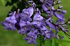 Jacaranda mimosifolia - Jacaranda (Black Diamond Images) Tags: purple australia nsw jacaranda floweringtrees bignoniaceae jacarandamimosifolia beautifultrees hallidayspoint bluejacaranda sigma70mmf28exdgmacro blackdiamondimages rnrfgdb purplefloweringtrees purplefp
