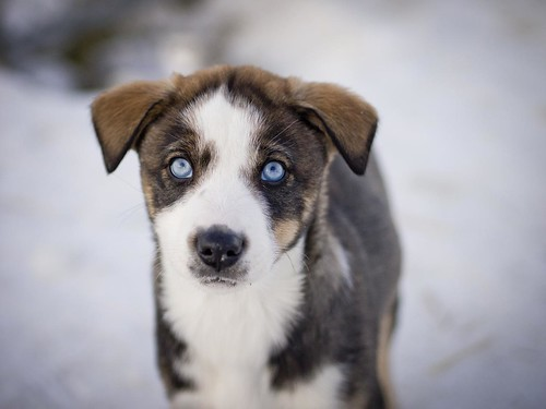 Puppy Sled Dog in Nome, AK by Livengood AK