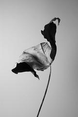 Leaf I (macro_zorki) Tags: white black leaf pentax withered k10d
