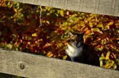 Golden November Cat (AincaArt) Tags: leaves cat fence schweiz switzerland leaf laub katze zaun blatt blätter berneroberland berneseoberland fallcat mungga herbstkatze nikond7000 goldennovembercat aincaart