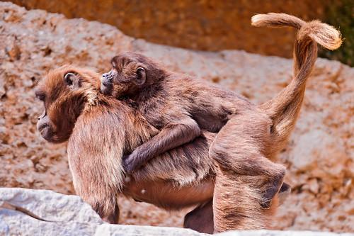 無料写真素材, 動物 , 猿・サル, 動物  親子, ヒヒ