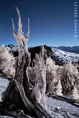 Standing Alone in IR (James Neeley) Tags: california landscape ir infrared ancientbristleconeforest jamesneeley convertedircamera flickr23