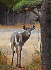 You coming? - White tailed deer, Ottawa, Ontario (Jim Cumming) Tags: autumn ontario canada fall nature field animals forest canon mammal woods wildlife ottawa hunting meadow doe deer antlers rack buck bucks hunt whitetail whitetaileddeer rut naturephotography kanata animalphotography whitetaildeer wildlifeimages wildlifephotography naturepics animalphotos animalphoto deerpictures naturepictures natureimages wildlifeimage oldquarrytrail jimcumming animalpics naturephotographs deerphotos canon70200f4is wildlifephoto animalimages natureimage wildlifephotograph deerphotograph deerpics whitetaileddeerbuck deerphotography deerimages dailynaturetnc13 oqt