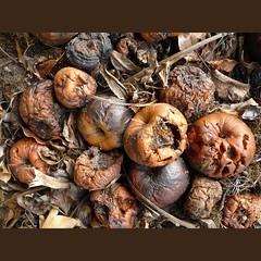 pommes pourries (peltier patrick) Tags: autumn brown macro apple nature leaves automne garden berry lumière pommes apples marron couleur brun feuilles pomme feuille pourri peltierpatrick murissement