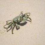 "Green Crab <a style=""margin-left:10px; font-size:0.8em;"" href=""http://www.flickr.com/photos/14315427@N00/6417695585/"" target=""_blank"">@flickr</a>"