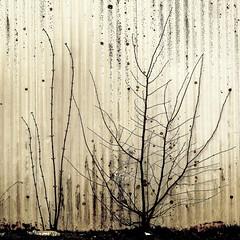springtime (Bim Bom) Tags: white wall square bush bare