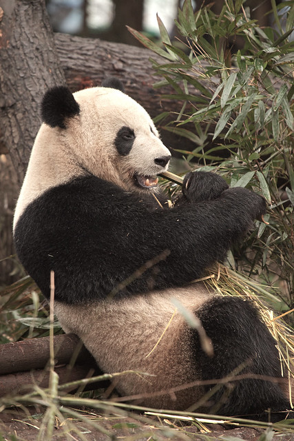CHINA Sichuan Province Chengdu Sichuan Giant Panda Sanctuaries Chongquing Tour 3273 AJ20