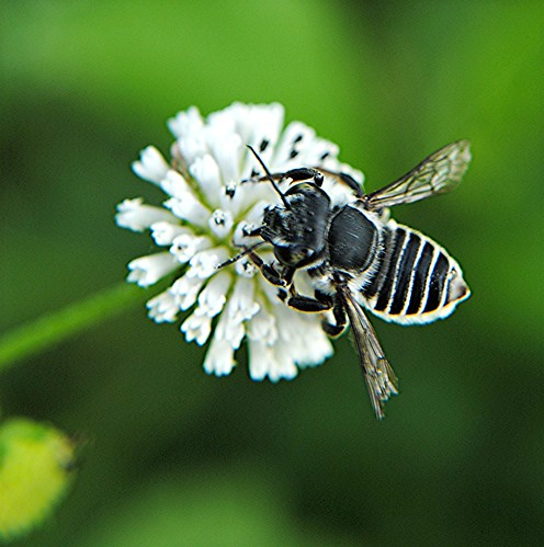 Black And White Striped Leafcutter Bee On Alligator Weed