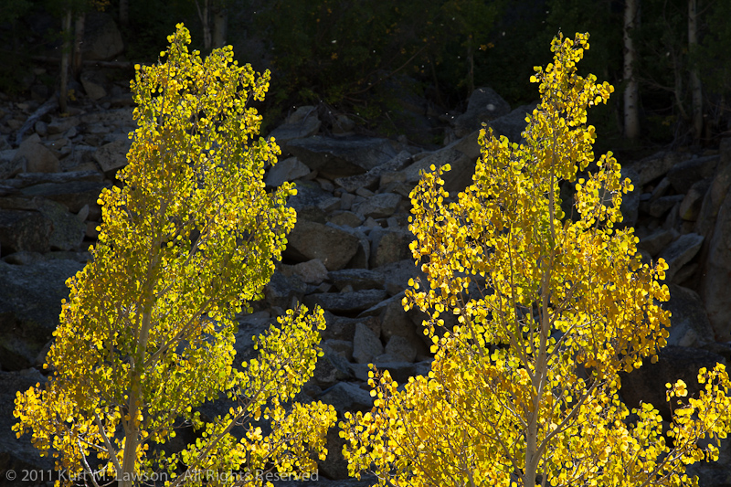 Aspens in the spotlight