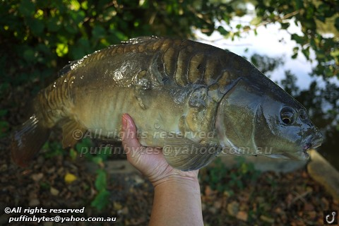 Mirror Carp - Cyprinus carpio