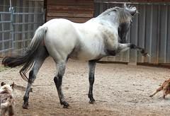 IMG_0325be (SWenglein) Tags: caballo appaloosa breeding stallion reining zucht