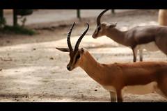 Gazella dama mohor (TheFonallers) Tags: barcelona animal photoshop zoo nikon horn dama ciervo gacela banya gazella mohor cuerno gazel·la