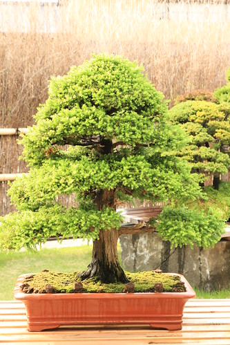 杉 Sugi (Japanese Cedar)- 盆栽美術館 - bonsai museum