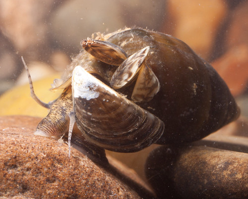 Pleurocera canaliculatum with zebra mussels