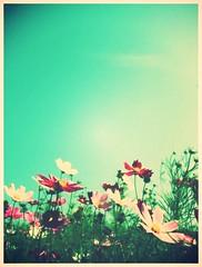 秋桜 (sakuto-style) Tags: flower crossprocess pastelcolor コスモス