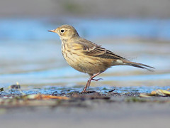 Course 50 m - Pipit d'Amrique / American pipit (mitch099) Tags: autumn bird nature beauty automne quebec beaut american oiseau pipit amrique yamachiche micheleamyot mitch099