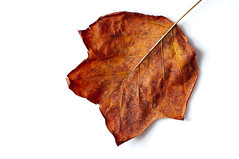 autumnal leaf isolated on  white (brazier305) Tags: old winter shadow red brown white detail macro fall leaf decay object seasonal crisp age fallen change vein withered isolated atumn sidelit decomposing