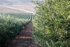 Olivar (Grupo Caparrs) Tags: cabo olive aceite oil grupo olivos olivo soldeportocarrero parquenatural caparros gatanijar orodenijar