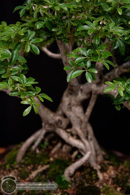 Bonzai Show at NC Arboretum 100811 © Michael Klayman-004