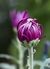 Longwood Gardens (phenix) Tags: flower macro minolta pennsylvania sony 100mm longwoodgardens f28 a700 kenneysquare