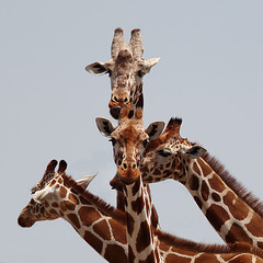 Headache ? (AnyMotion) Tags: africa travel nature animal animals tiere reisen kenya wildlife ngc natur npc afrika kenia 2011 reticulatedgiraffe anymotion sweetwatersgamereserve bej netzgiraffe giraffacamelopardalisreticulata portraitaufnahmen canoneos5dmarkii bestofanimals 5d2 olpejetaconservancy