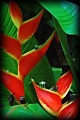 ~~TropicalFlowerSet #6~~ (TravelsThruTheUniverse) Tags: tropical tropicalplants tropicalflowers zengardens oahuhawaii tropicalgardens hoomaluhiabotanicalgarden tropicalfoliage flowersfoliage kaneohehawaii tropicallandscapes tropicalgardenslandscaping tropicalflowersfoliage