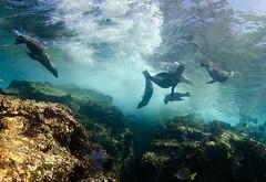 slgrpsurf8428 (gerb) Tags: blue water topv111 coral mexico topv555 topv333 surf underwater scuba sealion lapaz seaofcortez tvp aquatica losislotes d7000 sigma1017fe