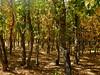 otoño #1 (juanpablo.santosrodriguez) Tags: autumn trees wallpaper tree verde green yellow hojas arbol arboles amarillo otoño leafs fondodeescritorio
